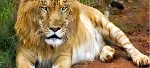 Farklı İki Tür Hayvanın Çiftleşmesiyle Meydana Gelen 18 Kırma